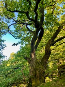 Grandmother oak by the waterfalls in cynwyd forest off grid sustainable eco glampsite and glamping